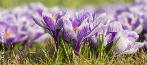 Foto op Plexiglas Purper panorama with blooming crocuses, closeup
