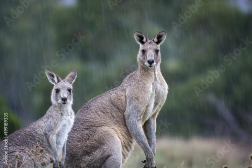 Aluminium Kangoeroe Roos in the Rain