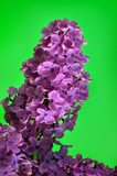 Branches of the young, blossoming lilac closeup - 199203914