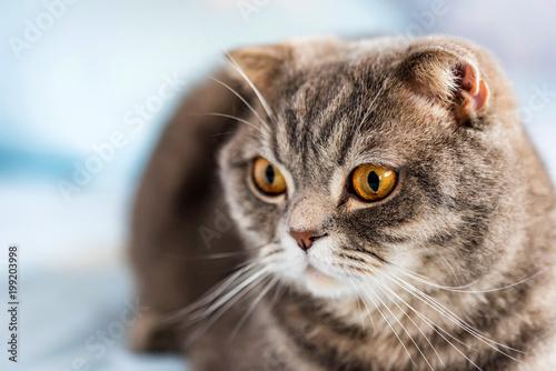 Szary kot brytyjski krótkowłosy portret
