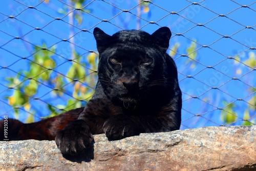 Foto op Plexiglas Panter pantera
