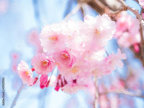 Foto op Plexiglas Lichtroze 桜と青空