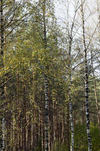 Fotobehang Berkenbos Beautiful wood