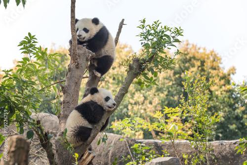 Two panda cubs in a tree, Chengdu, China