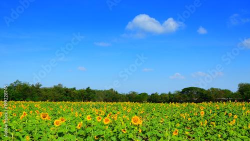 Sunflower feild for harvest seed on winter season on thailand