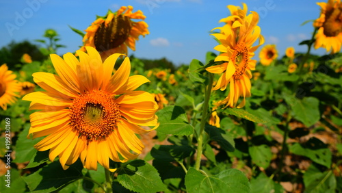 Słonecznikowy pole dla żniwa ziarna na zima sezonie na Thailand