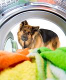 Shepherd dog looking inside wash machine with interest