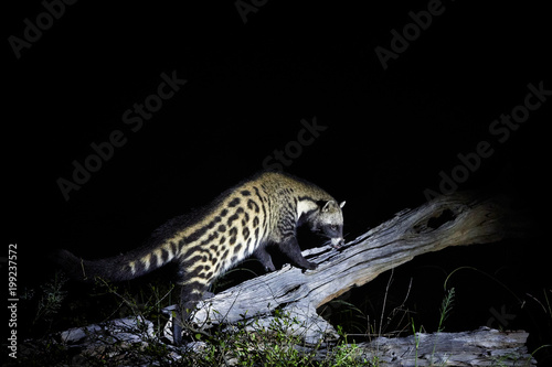 African civet, Civettictis civetta, night photo of wild, largest civet. Nocturnal animal. African wildlife photography, self drive safari in Moremi national park, Botswana.
