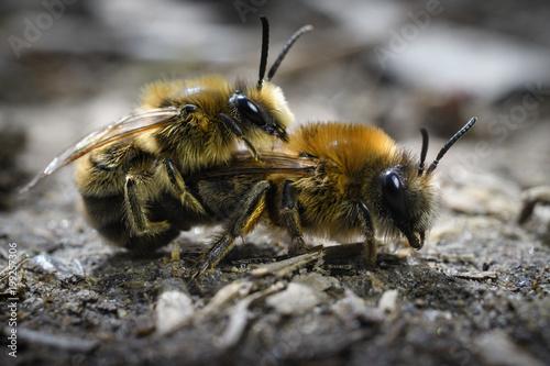 Plexiglas Bee Paarung der Sandbienen