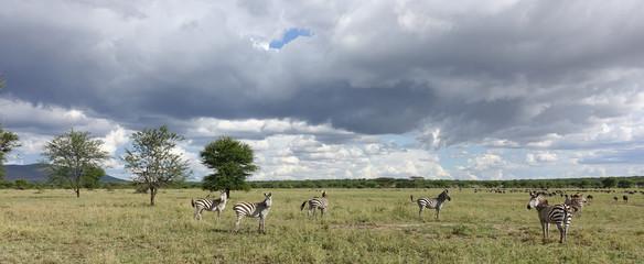 Zebras in der Serengeti, Tansania