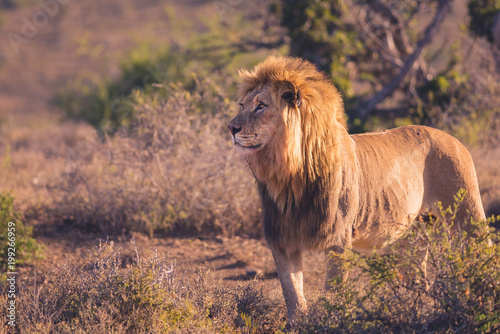 Lion on safari in South Africa
