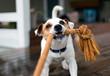 Fox terrier pulling on rope