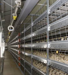 Poultry. Chicks in aviary system