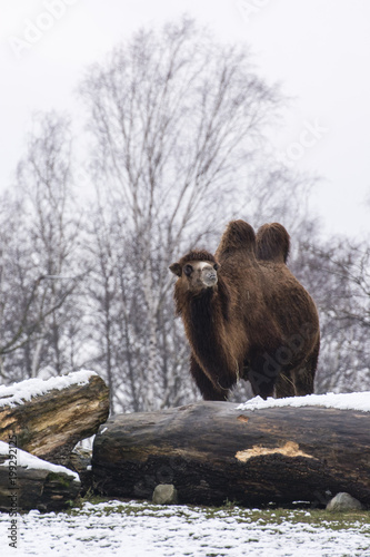 Fotobehang Kameel Two-necked camel in winter behind a tree trunk.
