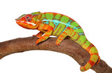 Chameleon crawling