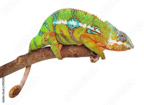 Kameleon na gałęzi