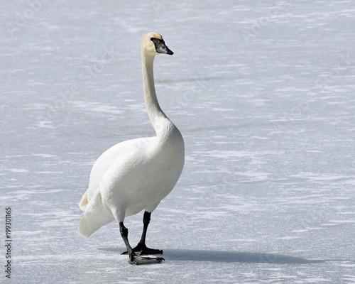 Wild Trumpeter Swan with its distinctive black beak walks across frozen snow covered pond
