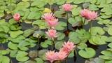 Seerosen im Teich, verschiedene Farben