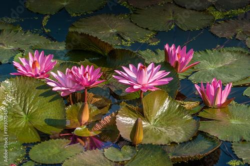 Kwitnące lilie wodne w stawie