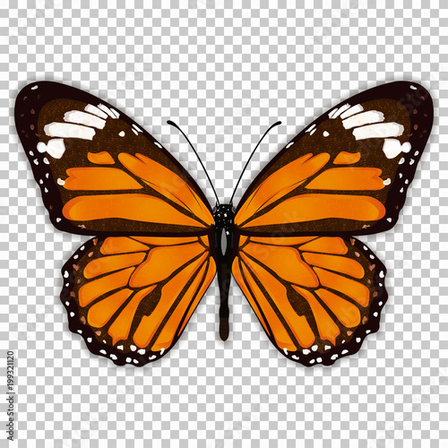 Beautiful butterfly with orange wings, view from above, on a transparent background, graphic drawing. Vector illustration