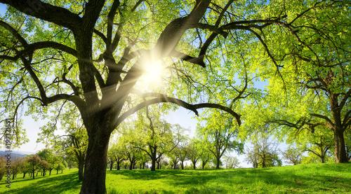 Fotobehang Beige Obstbäume auf schöner Wiese, mit der Sonne und der Silhouette eines Baums