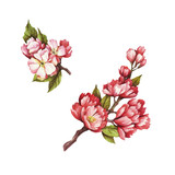 Set of  blooming cherry. Hand draw watercolor illustration.