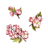 Set of  blooming cherry. Hand draw watercolor illustration. - 199322535