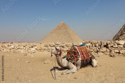 Fototapeta Camel and Great Pyramid
