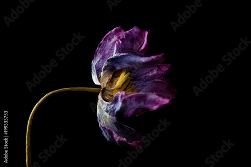 dried purple tulip against a black background