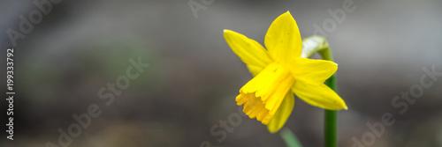 Żółta panorama żonkila