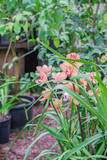 branch of hybrid orchid of peach color in botanical garden