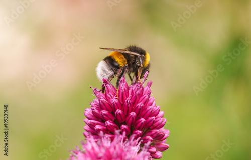 Plexiglas Bee Hummel Blume Pink