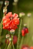 Red poppy field. Blurred background