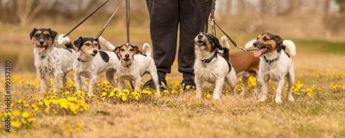 Właściciel idzie na spacer z wieloma psami i wiosną z wieloma psami - paczką Jack Russell Terrierów otoczoną kwiatami