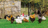 flock of chickens grazing on a farm