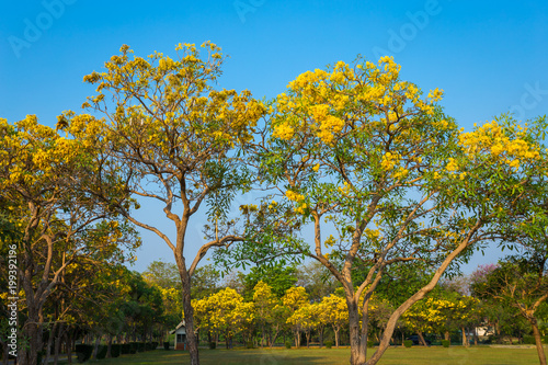 Tuinposter Honing Golden trumpet tree at Park in on blue sky background.