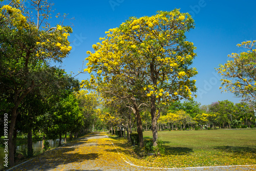 Foto op Canvas Herfst Golden trumpet tree at Park in on blue sky background.