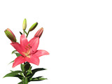 Blooming beautiful garden lily of coral color. Isolated on white background. Photo from iPhone.  Mock up, copy space