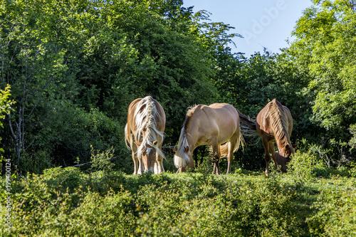 Fotobehang Paarden grazing horses in the french Jura region