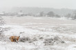 Red fox in a white winter landscape