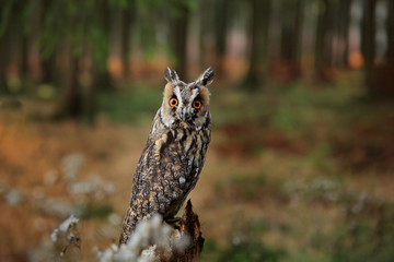 Owl in forest. Long-eared Owl in habitat - coniferous forest wit big tree, wide angle lens photo. Wildlife scene from nature. Bird in the forest. Big orange eyes. Animal in habitat.