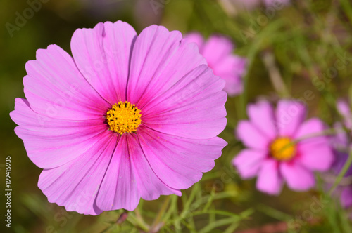 A sunny day in autumn,close-up of bluish pink cosmos flowers - 199415935