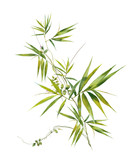 Watercolor illustration painting of bamboo leaves , on white background - 199418158