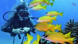 Woman scuba diver and shoal of yellow coral fish - 199421997