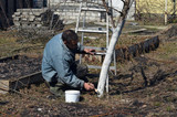 Spring protection of fruit trees in the garden.Whitewashing of trees in spring - 199431174
