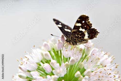 Foto Murales Butterfly  on a flower of wild onion