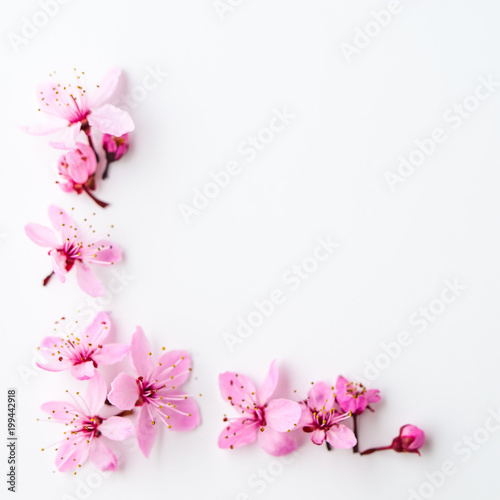 Vivid pnk cherry blossom on white background. Negative space. - 199442918