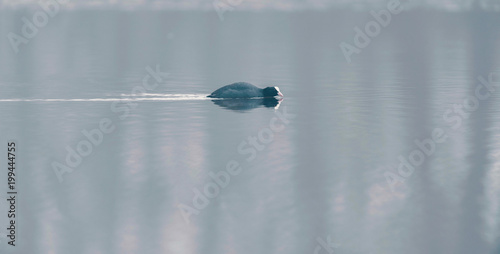 Foto op Canvas Herfst Single eurasian coot swimming in water.