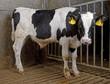 Cattle. Cows. Farming. Veal calves. Bulls