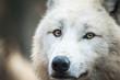Portrait of Arctic Wolf (Canis lupus arctos) aka Polar Wolf or White Wolf.